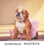 A Cute Bulldog Dressed Up In A...