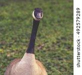 A Curious Canadian Goose...