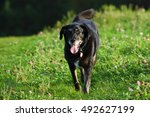 labrador mix | Shutterstock . vector #492627199