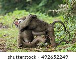 Juvenile Olive Baboons  Papio...