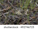 Small photo of Buff-rumped Thornbill (Acanthiza reguloides) Maldon, Victoria, Australia