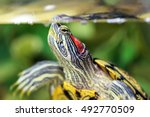 Red Eared Turtle In Natural...