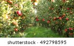 Picture of a ripe apples in...
