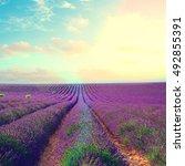 lavender flowers field rows... | Shutterstock . vector #492855391
