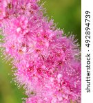 Small photo of The flowers Spiraea Billard. Spiraea billardii