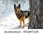 German Shepherd Dog On Snow In...