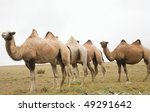 herd of bactrian camels in the... | Shutterstock . vector #49291642