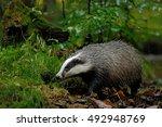 european badger in the forest ... | Shutterstock . vector #492948769
