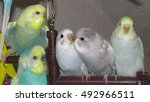 budgies family | Shutterstock . vector #492966511