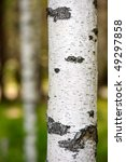Close Up Of The Birch Trunk...