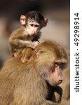 Baby Baboon Monkey Sitting On...