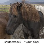 Hardy Dark Chestnut Icelandic...