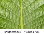 Small photo of Alocasia macrorrhiza