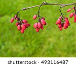 The Red Berries Hang On A Bush...