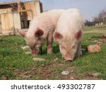 Pinki Pigs Of Udabno Place