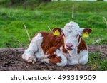 Little Hereford Bull 6 ...