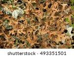 iceland moss   cetraria... | Shutterstock . vector #493351501