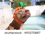 Stock photo funny dog wearing cute halloween costume and making a funny face 493370887