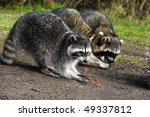 Three Raccoon Sharing A Meal