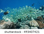 Small photo of School of tropical fish convict tang, Acanthurus triostegus, underwater, feeding on the ocean floor, Pacific ocean, atoll of Rangiroa, Tuamotu, French Polynesia