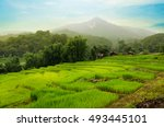 rice fields in the morning | Shutterstock . vector #493445101