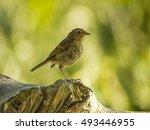 fledgling robin portrait ... | Shutterstock . vector #493446955