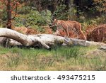the eurasian lynx  lynx lynx ...   Shutterstock . vector #493475215