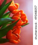 Close Up Of Bright Tulips On...