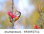 Small photo of Australian native Eastern Spinebill, Acanthorhynchus tenuirostris, feeding on nectar from a Mountain Devil flower, Lambertia formosa, Royal National park, Sydney, New South Wales