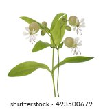 Bladder Campion Flowers  Silen...