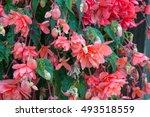 Blooming Tuberous Basket...