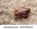 bed bug | Shutterstock . vector #493598257