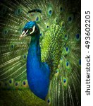 portrait of beautiful peacock...