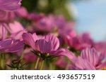 cosmos flowers  | Shutterstock . vector #493657519