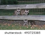 Three Baby Raccoons On A Fence