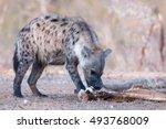 African Mammal Predator Hyena...