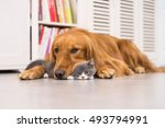 Stock photo dogs and cats taken indoors 493794991