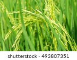rice field | Shutterstock . vector #493807351
