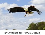 Small photo of African Fish Eagle approaching. A magnificent African fish eagle flies towards the camera with its talons poised.
