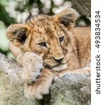 A Baby Lion Which Is Resting