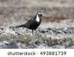 Small photo of Close up of American Golden Plover (Pluvialis dominica) on the Arctic Tundra