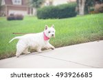 white dog walking on a driveway ... | Shutterstock . vector #493926685