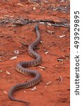 Small photo of A Black-headed Python on red sand in Australia's desert.
