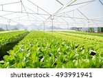 hydroponic vegetables growing... | Shutterstock . vector #493991941