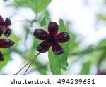 Small photo of Fruit of Spindle Tree - Euonymus oxyphyllus