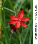 Small photo of Schizostylis coccinea, Iridaceae family. South Africa