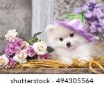 pomeranian spitz puppy | Shutterstock . vector #494305564