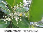 Small photo of Calophyllum inophyllum flower,Plantae????,Theales,Clusiaceae,Calophyllum,C. inophyl