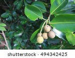 Small photo of Calophyllum inophyllum, Theales,Clusiaceae,Calophyllum,C. inophyl