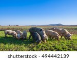 Pigs And Piglets Grazing In A...